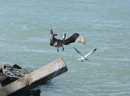 Seagull leaving and Pelican making a landing