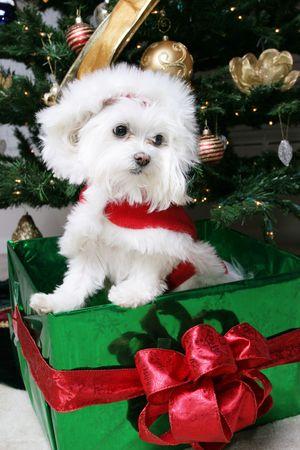 maltese: Santa Puppy in gift under tree