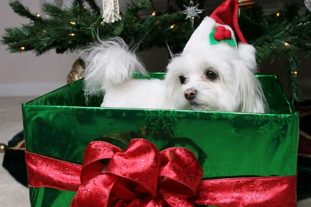 maltese dog: Santa Puppy in gift under the christmas tree Stock Photo
