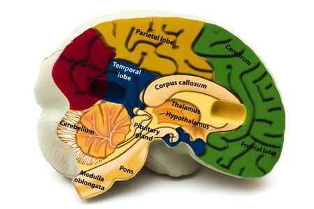 frontal lobe: Model brain isolated on a white background