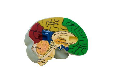 thalamus: Cerebro modelo colores sobre fondo blanco, reloj de alarma