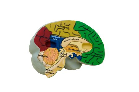 frontal lobe: Colourful model brain on white background, alarm clock
