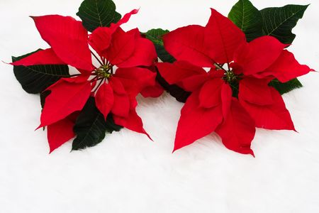 Two poinsettia flowers on a white background