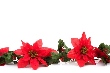 white winter: Poinsettia flowers making a border with white background, poinsettia winter border Stock Photo