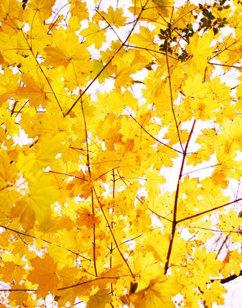 Golden leaves on a cool fall day