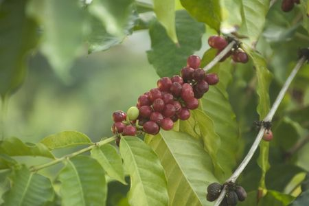 Coffee berries growing in Hawaii Stock Photo