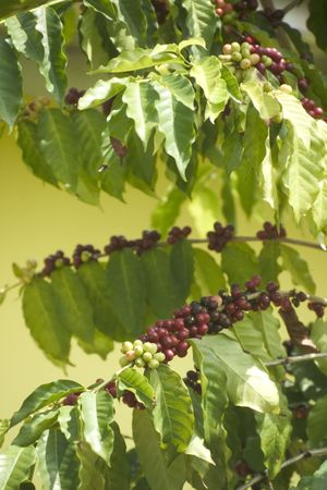 Coffee bush in growth Stock Photo