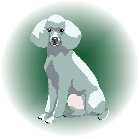 A white poodle sitting down with a green color spot in the background - a raster illustration. illustration