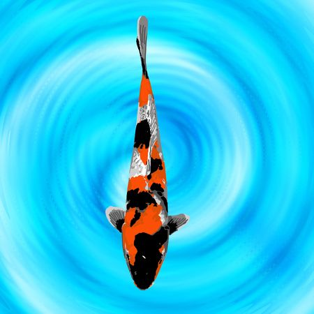 A baby orange, black, and white koi swimming quietly in a fish pond.