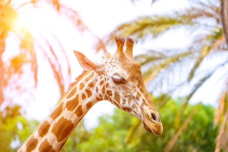 A giraffe looking and listening on tropical background with Palms.