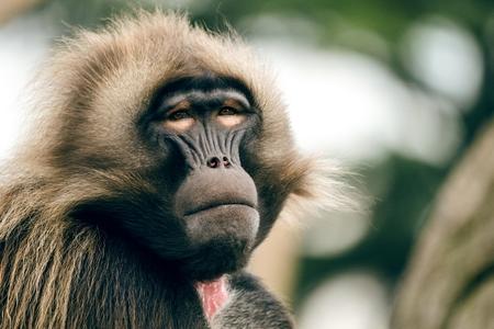 Hamadryas Baboon Papio hamadryas pavian close up portrait in the zoo.
