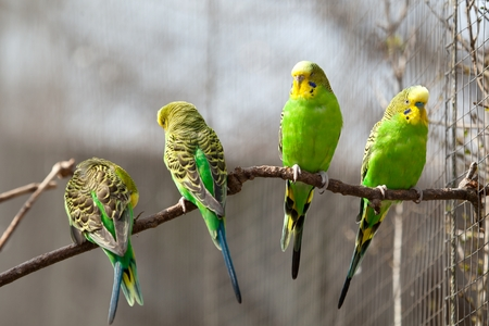 Budgerigar sits on a branch. The parrot is brightly green-colored. Bird parrot is a pet. Beautiful pet wavy parrot. Stock Photo