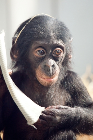Little baby chimpanzee monkey sits with sad expression looking at camera