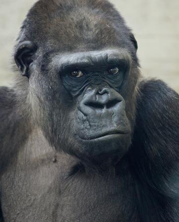 Beautiful Portrait of a Gorilla. Male gorilla on black background, severe silverback anthropoid ape. Stock Photo
