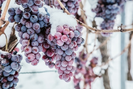 Eiswein. Weinrote Trauben für Eiswein im Winterzustand und im Schnee. Standard-Bild