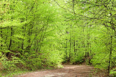 Trees coming to life in the spring on a path in the Palatinate Forest of Germany.