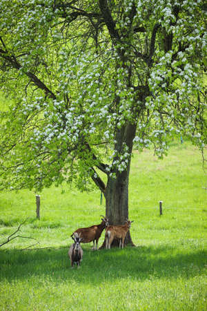Three goats standing in the shade under a tree with white flowers on a warm spring day in Germany.