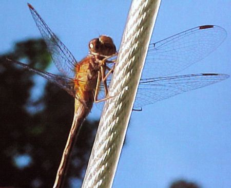 RED DRAGON FLY WALKING ON WIRE STOCK PHOTO