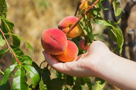 Peach in a hand. Ripe peaches ready to pick on tree branches. Banco de Imagens