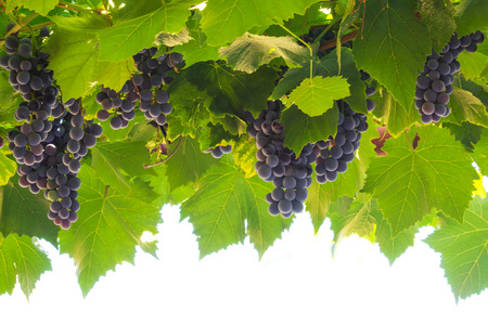 Bunches of Ripe Red Grapes in a Vineyard. Organic Food.