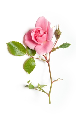 Pink rose and rosebud on white background