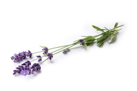 Lavender with White Background photo
