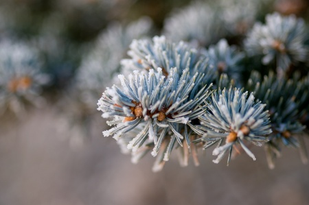 Detail of pine tree with snow photo