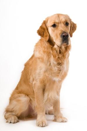 Portret van een Golden Retriever met witte achtergrond Stockfoto