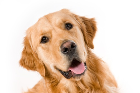 Portrait of a Golden Retriever with White background photo