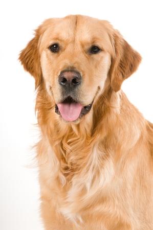 Portrait of a Golden Retriever with White background Zdjęcie Seryjne