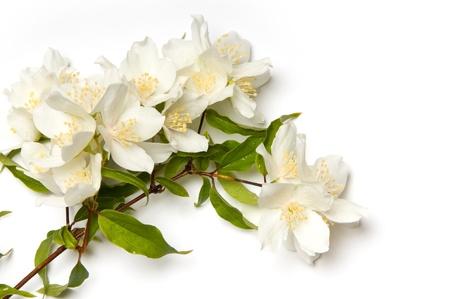 Witte jasmijn bloemen op witte achtergrond Stockfoto