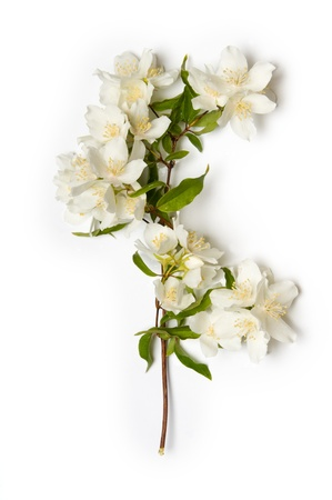 White Jasmine flowers on white background
