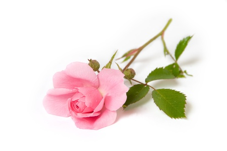 Pink rose op witte achtergrond