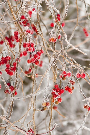 Red berries covered with ice and snow photo