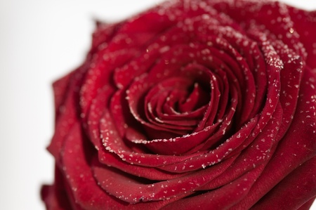 Red rose in the winter snow photo