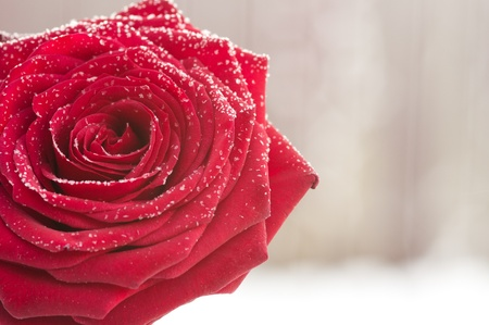 snow flowers: Red rose in the winter snow