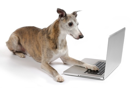 Whippet dog working on laptop Stock Photo