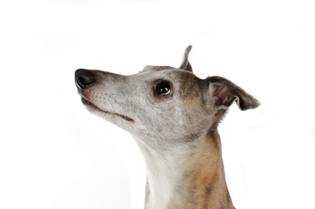 Portrait of a whippet Stock Photo - 12796743