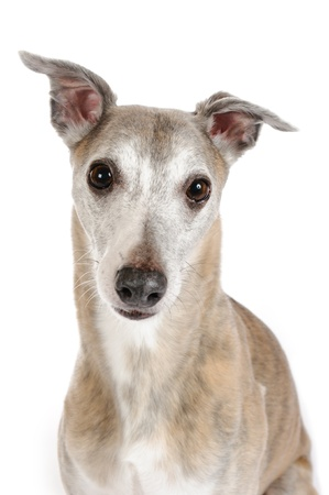 Portrait of a whippet photo