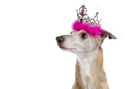 A whippet with a princess crown