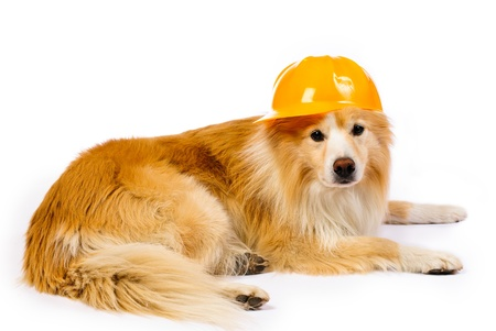 Border Collie with Construction hat