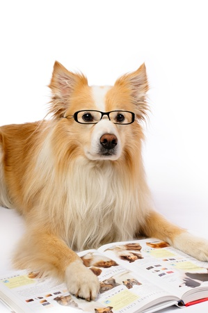 Intellectual border collie with glasses reading a book about dogs