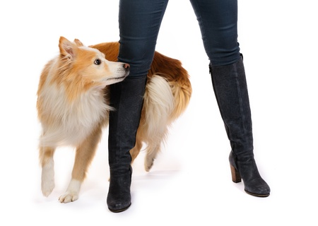 Border collie and a woman legs photo