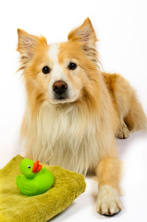 Border Collie with towel and rubber duck ready for a bath. Stock Photo - 13591643