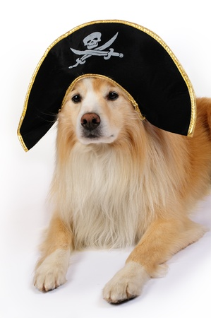 Border collie with a pirate hat Stock Photo