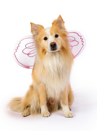 dog in costume: Border Collie with pink angel wings Stock Photo