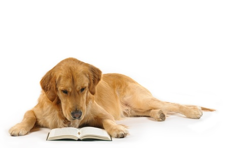 intelectual: Golden retriever leer un libro Foto de archivo