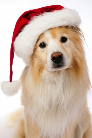 Dog with red and white  Santa hat photo