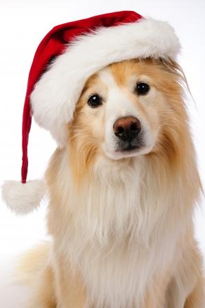 Hond met rode en witte hoed van de Kerstman Stockfoto