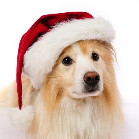 grappige honden: Hond met rode en witte hoed van de Kerstman Stockfoto